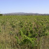 les vignes de Rivesaltes à l'abandon