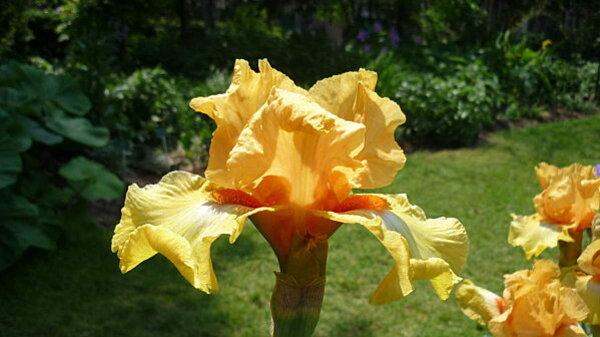 Iris-de-mai-064.JPG
