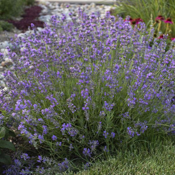 LAVANDULA 'Munstead' (angustifolia) – Lavande – Lavender - Jardins Michel  Corbeil