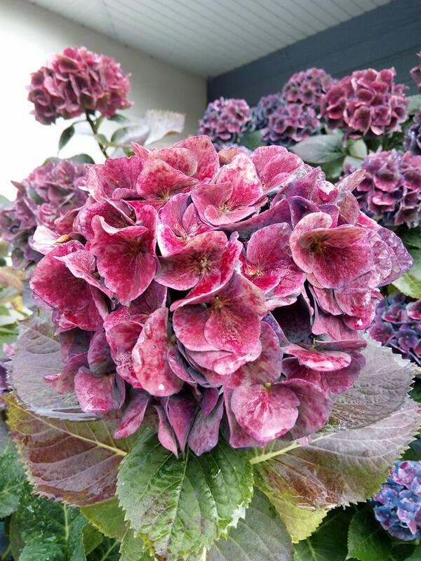 Les hortensias du bleus aux roses