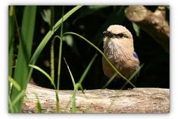 Rollier à ventre bleu - Parc des oiseaux