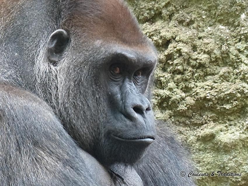 Gorilles du Sud ouest Africain