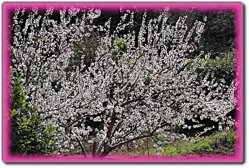 C'est le printemps, les arbres fruitiers sont en fleurs