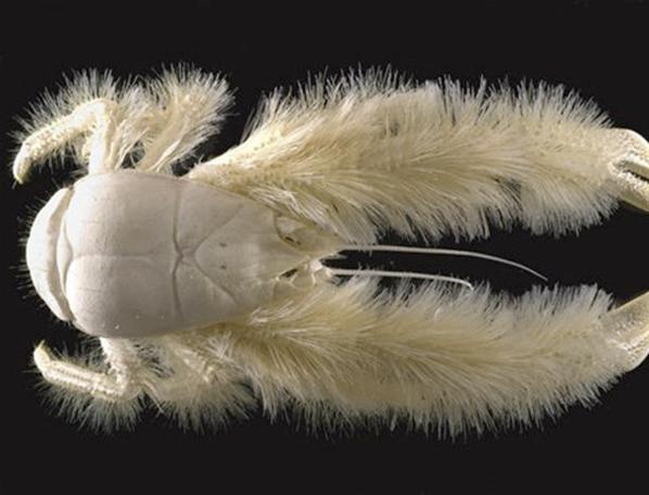 crabe yéti