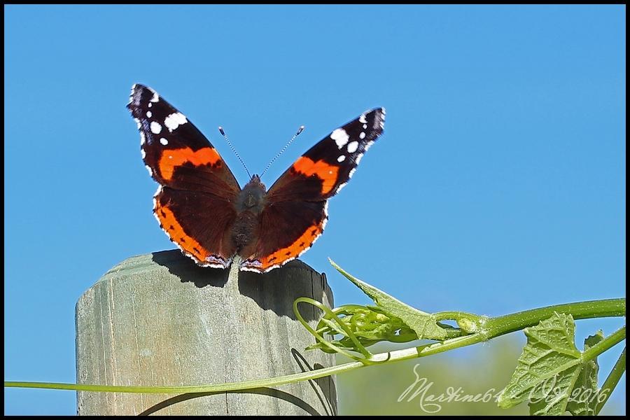 Papillon : le Vulcain