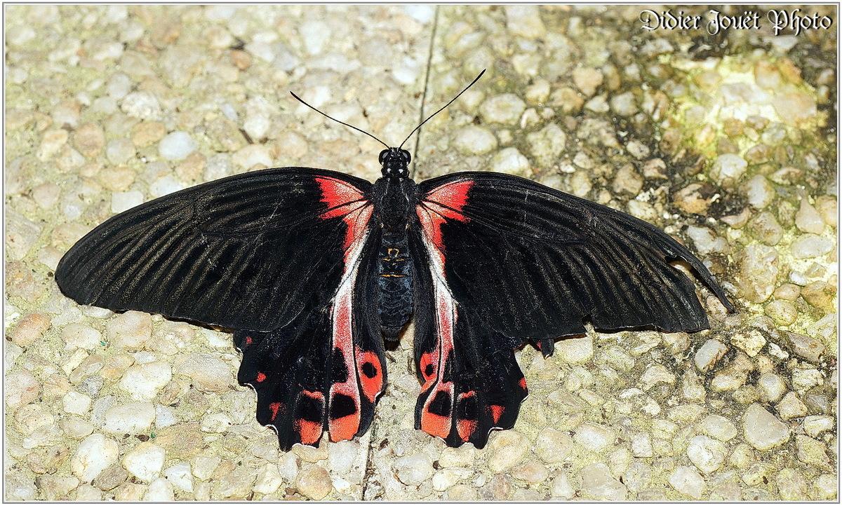 Mormon Ecarlate (1) - Papilio rumanzovia
