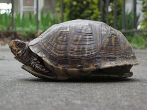 Si vous aimez les tortues ...