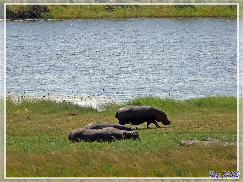 La promenade des hippopotames - Safari terrestre - Parc National de Chobe - Botswana