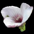 Lin à feuilles de salsola