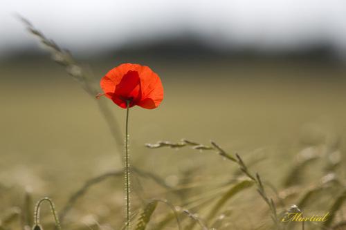 Coquelicot, fleur, rouge,Papaver rhoeas, Papavéracé