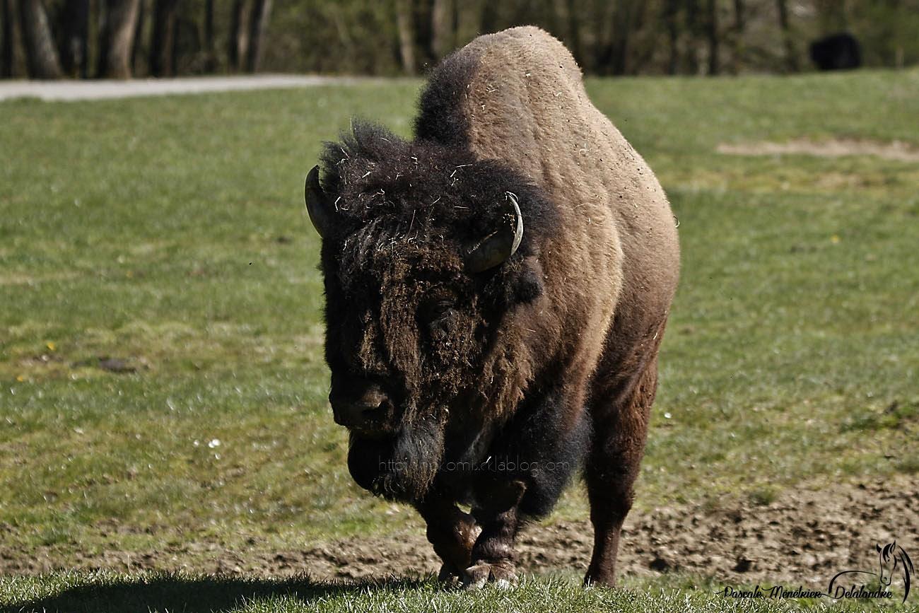 Bison d'Amérique du Nord
