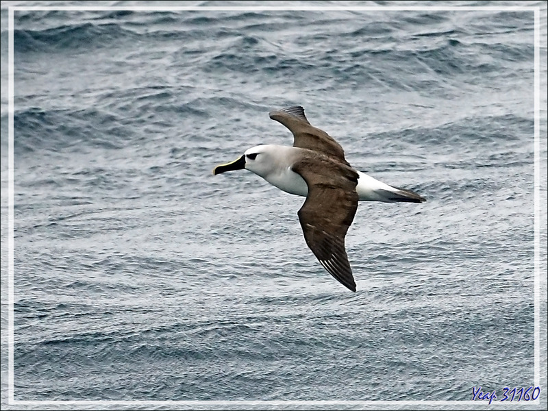 Albatros à nez jaune, Atlantic Yellow-nosed Albatross (Thalassarche chlororhynchos) - Gough Island - Tristan da Cunha