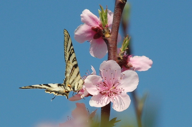 fleurs-peche-et-papillon-p