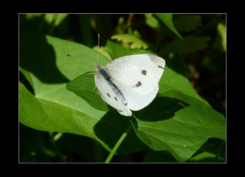 Papillonnant  ( 5 )
