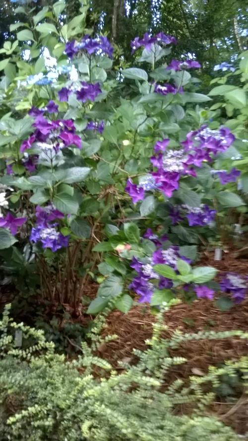 Les hortensias.