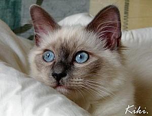 chaton-sacre-de-birmanie