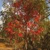 Maroc Tiznit Eucalyptus en fleurs