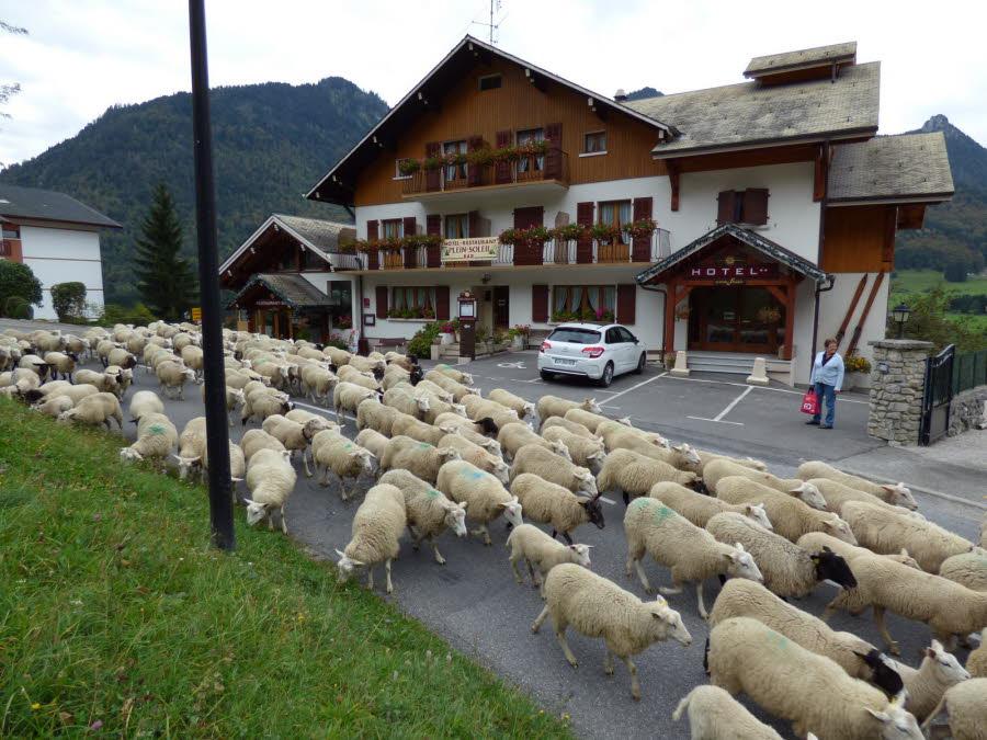 Retour des alpages des  moutons