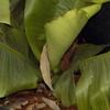 bananier_protec2.jpg