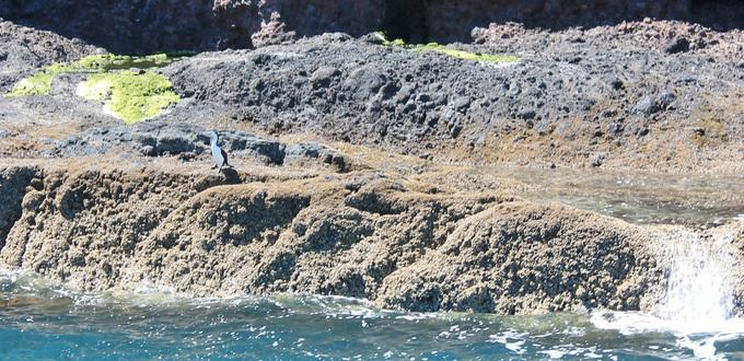 Nouvelle-Zélande : Hector le dauphin