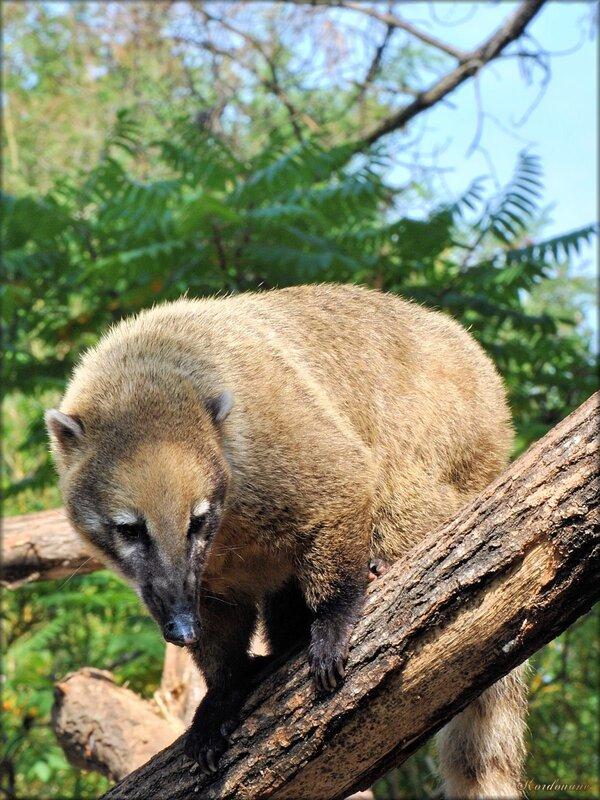 Photo de Coati roux du Zoo de Pessac (Gironde)