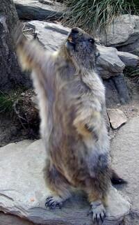 Les marmottes des Pessons