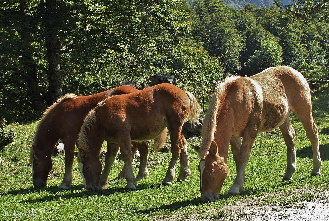 Chevaux dans les Pyrénées Espagnoles