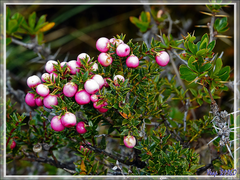 Gaulthérie mucronée, Pernettya mucronée, Bruyère épineuse, Chaura (Gaultheria mucronata) - Peninsula de Magallanes - Patagonie - Argentine