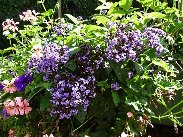 Metz fleurs d'été 9 mp1357 2011