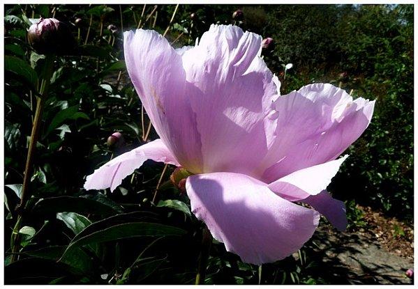 pivoine-rosepale1.jpg