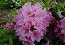 **LES RHODODENDRONS ..!!