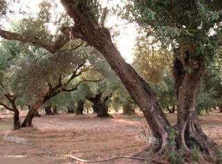 Un olivier millénaire