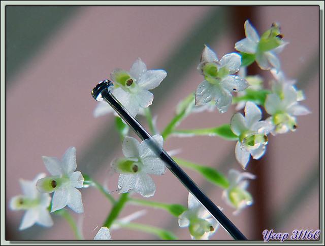 Blog de images-du-pays-des-ours : Images du Pays des Ours (et d'ailleurs ...), Mini orchidée du Costa Rica