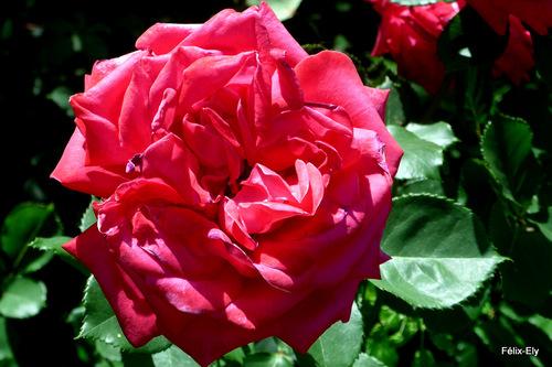 Mes jolies roses !