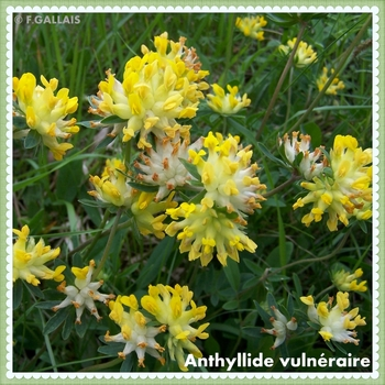 Anthyllide vulnéraire-Anthyllis vulneraria