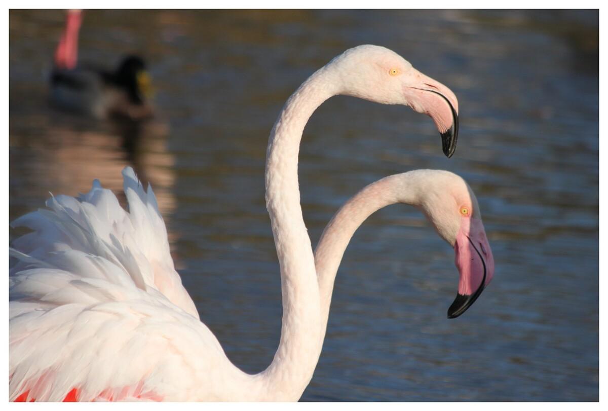 Parc ornitho de Pont de Gau (Camargue) - un flamant rose à deux têtes ! lol !