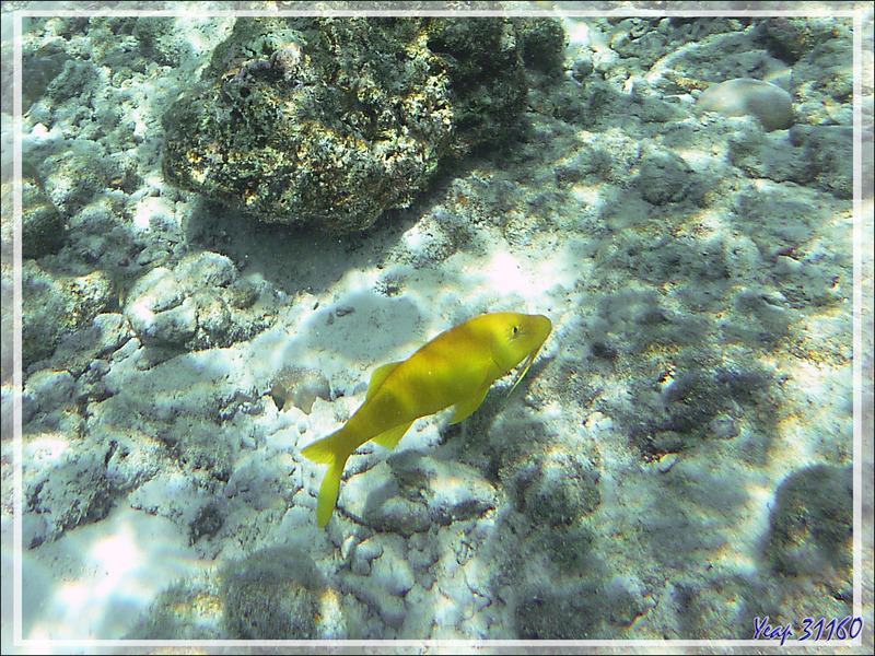 Rouget-barbé doré, Rouget citron, Yellowsaddle goatfish, Goldspotted goatfish (Parupeneus cyclostomus) - Moofushi - Atoll d'Ari - Maldives