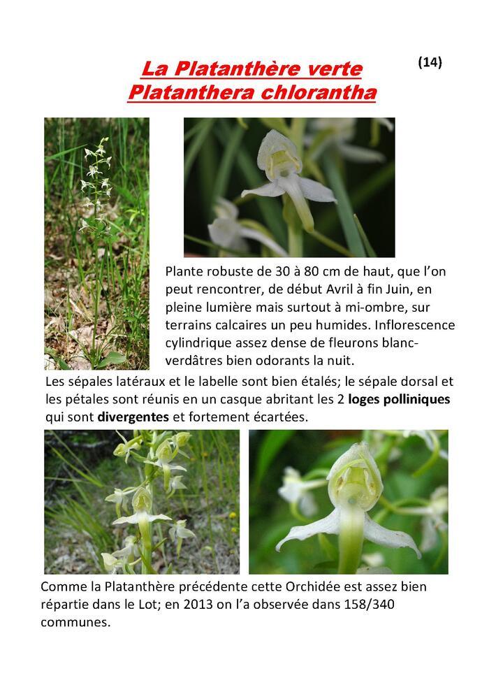 Fichier 14 : la Platanthère verte