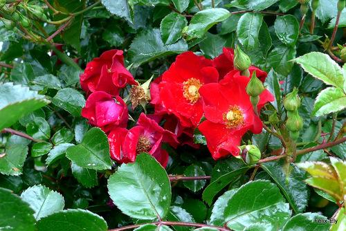Le rosier en fleur