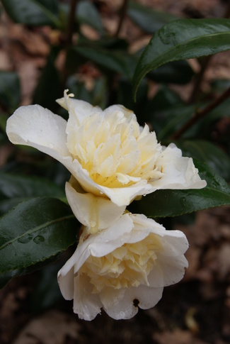 camellia japonica Brushfield's yellow