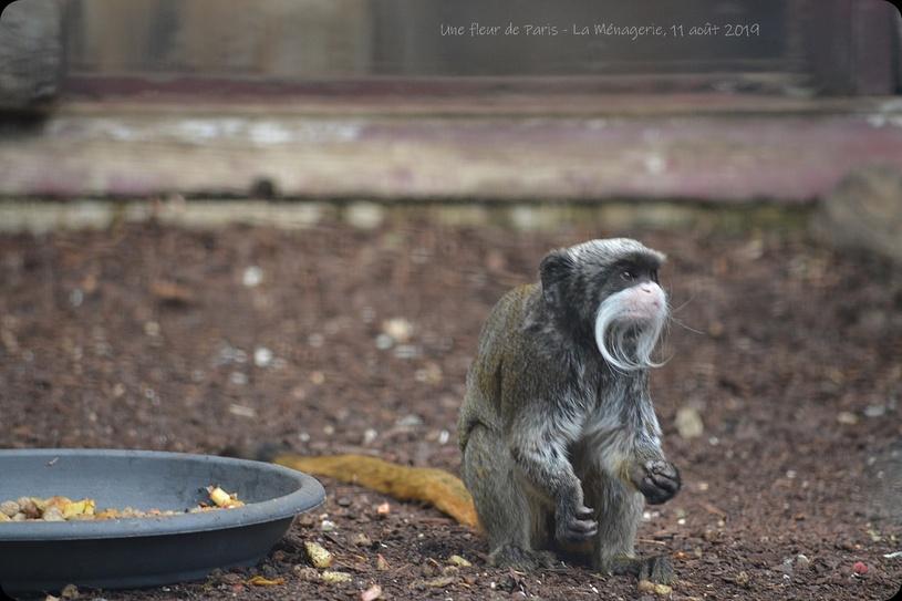 La Ménagerie, Zoo du Jardin des Plantes : Le Tamarin empereur