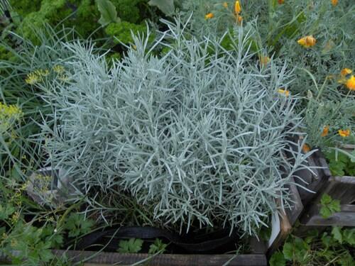 Hélichrysum ou plante à curry