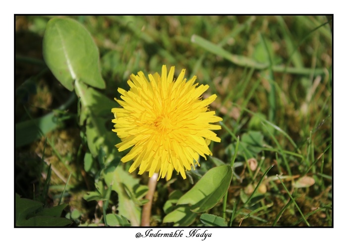 Pissenlit en fleur