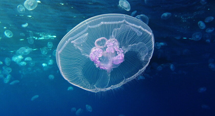 Une méduse étrange filmée en mer des Tchouktches...