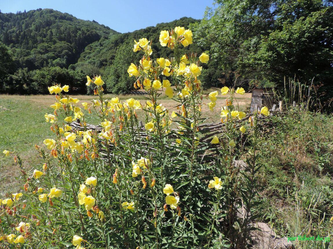 des fleurs en Auvergne