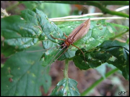 Trichoptères adultes.