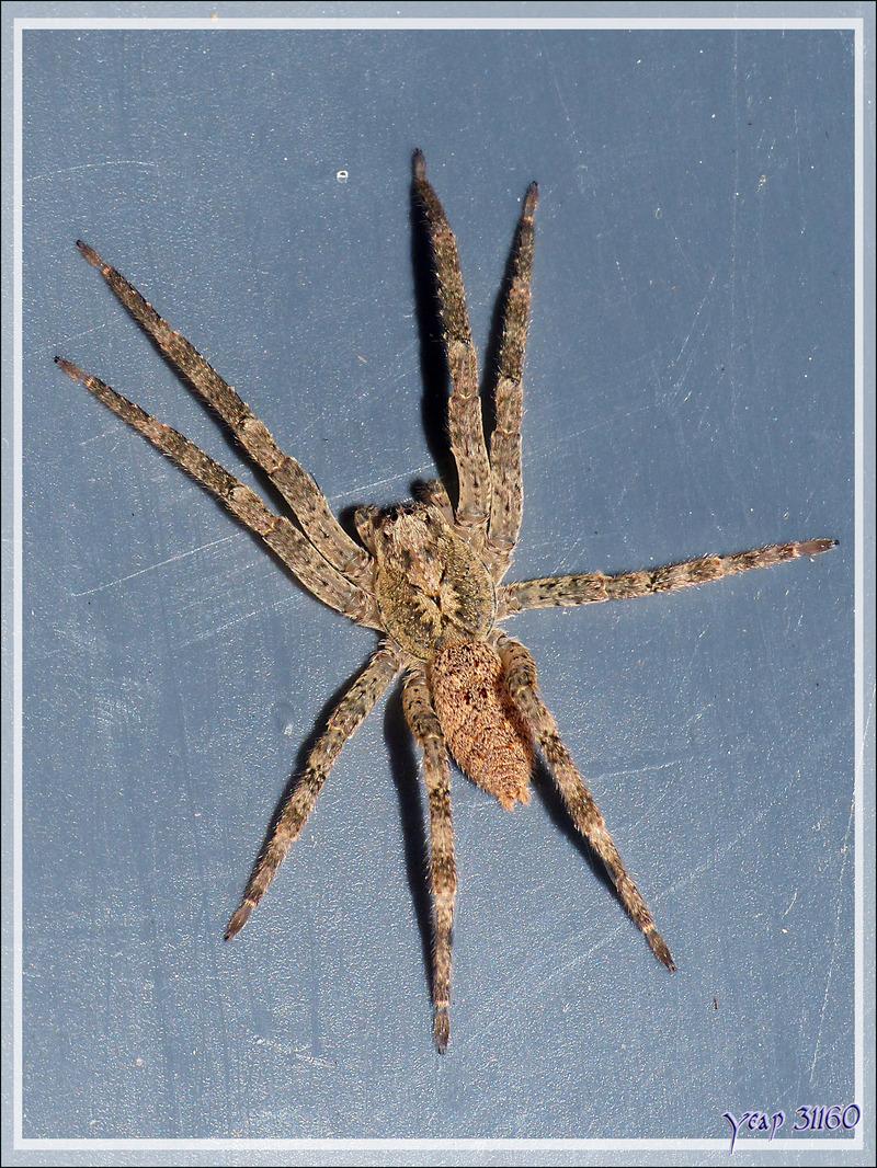 """Araignée """"Nosferatu"""" (Zoropsis spinimana), la bête et son exuvie - La Couarde-sur-Mer - Île de Ré - 17"""