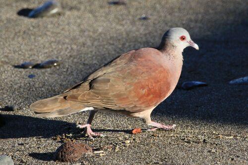 Pigeon de Madagascar (Malagasy Turtle Dove)