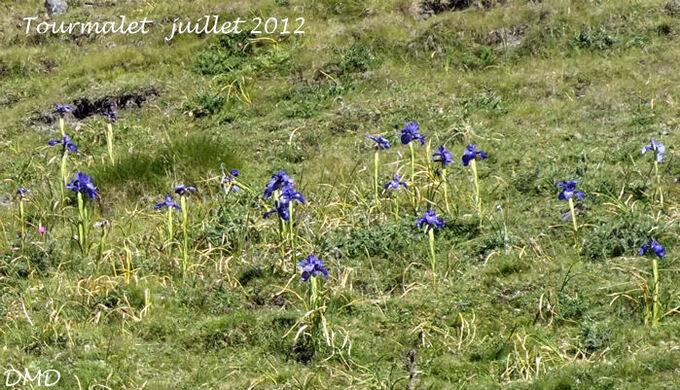 Iris latifolia   -   iris des Pyrénées