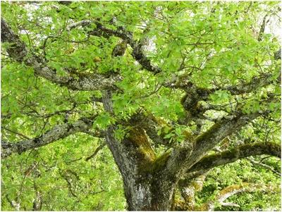 Le Chêne pubescent